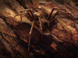 Tegenaria Domestica - The Domestic Spider