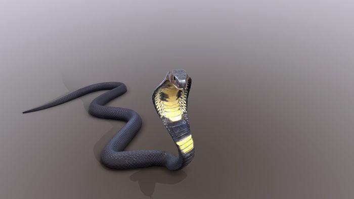 Indian King Cobra Snake