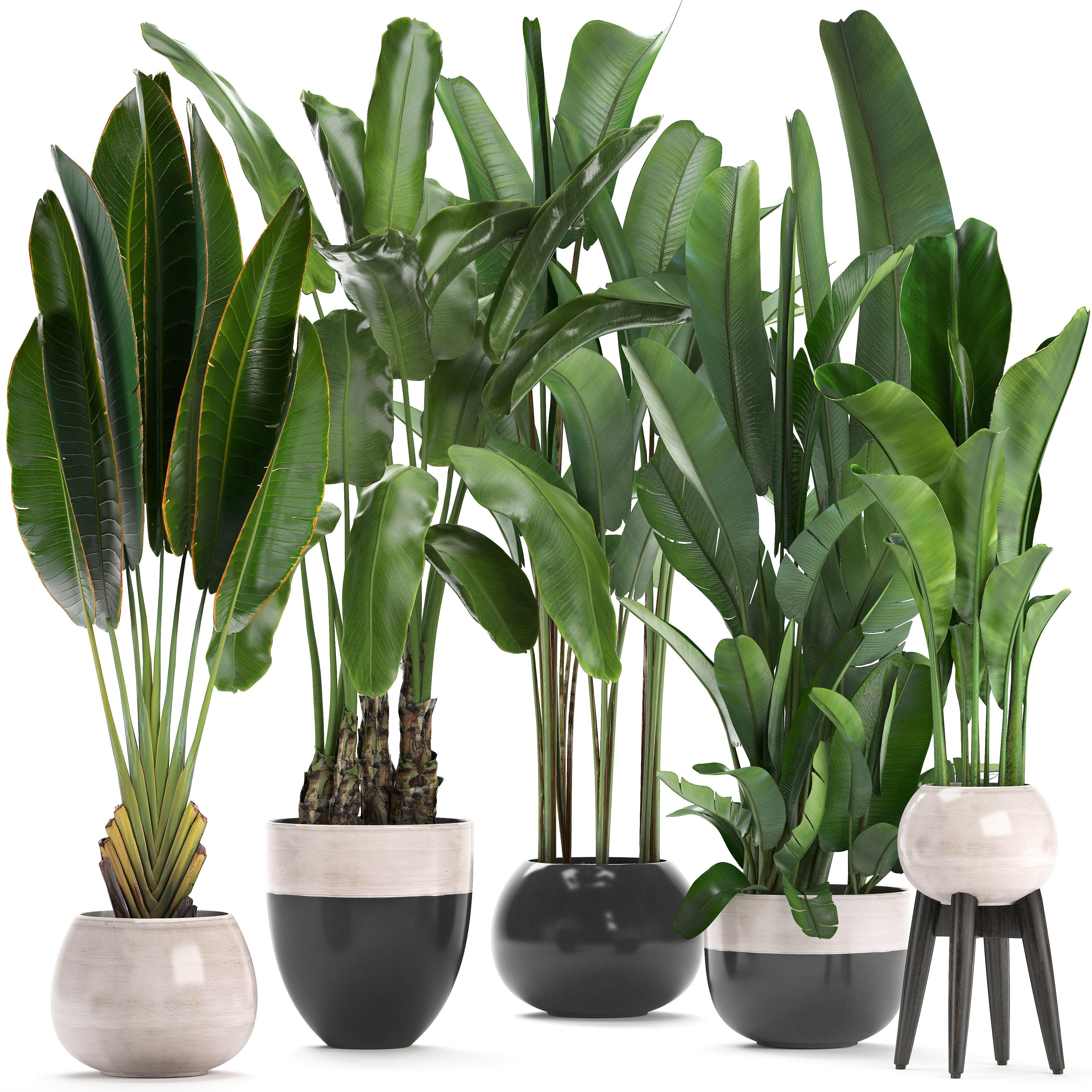 Exotic plants banana tree
