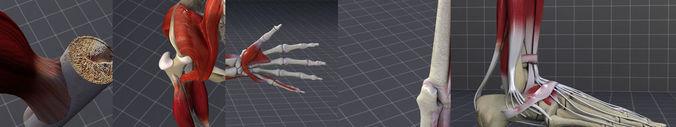 muscular system 3d model max obj mtl 3ds fbx c4d lwo lw lws 1