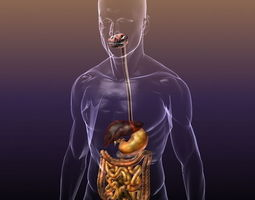 digestive system in a human body 3d model