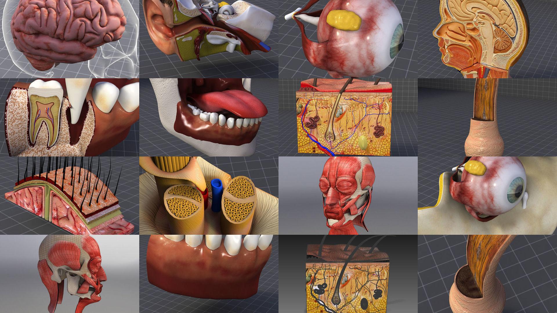 Cephalic Anatomy Collection - Head