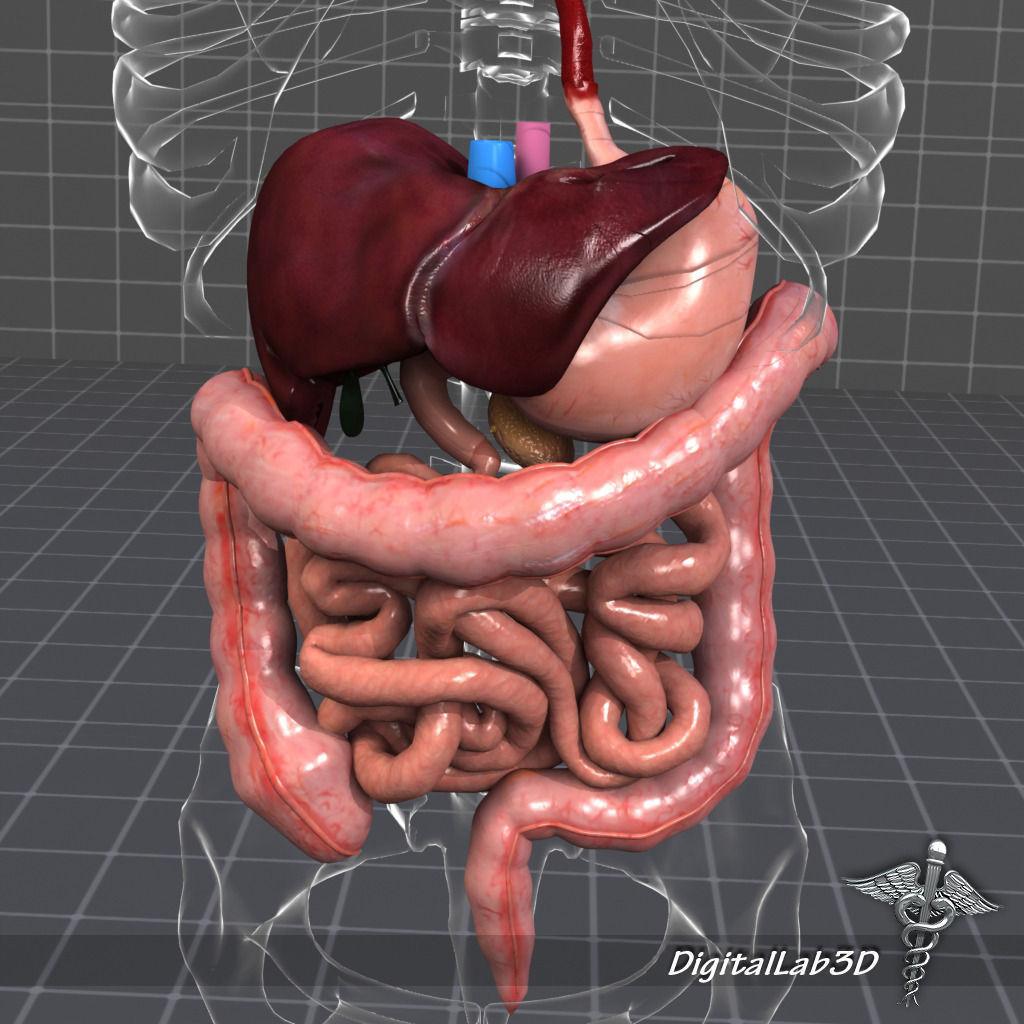 Complete Abdominal Organs 3d Cgtrader
