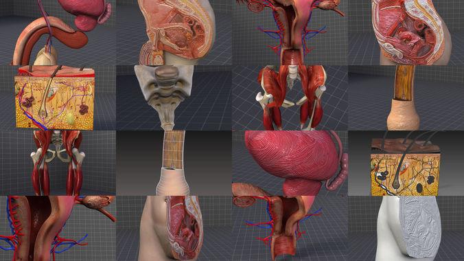 complete pelvic organs 3d model max obj mtl 3ds fbx c4d lwo lw lws 1