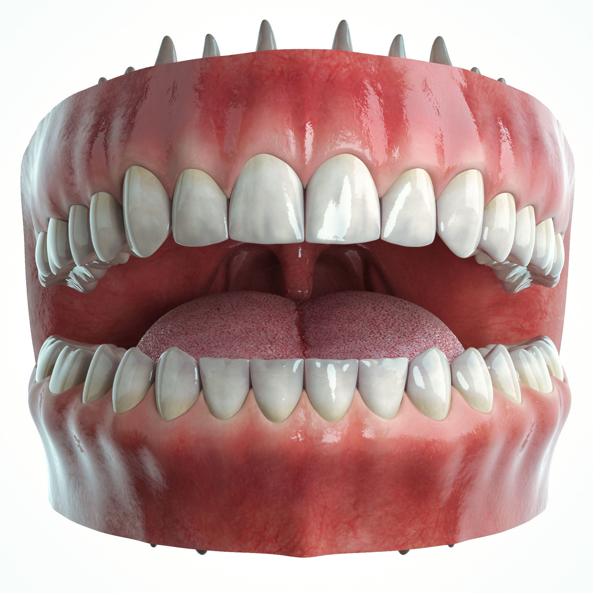 Realistic Human Mouth model