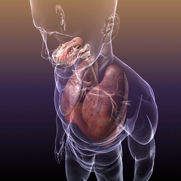 Respiratory System Lungs in a Human Body 3D model MAX OBJ 3DS FBX ...