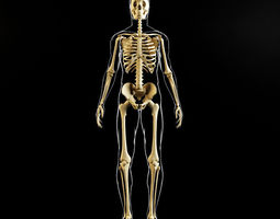 3d model skeleton and human body