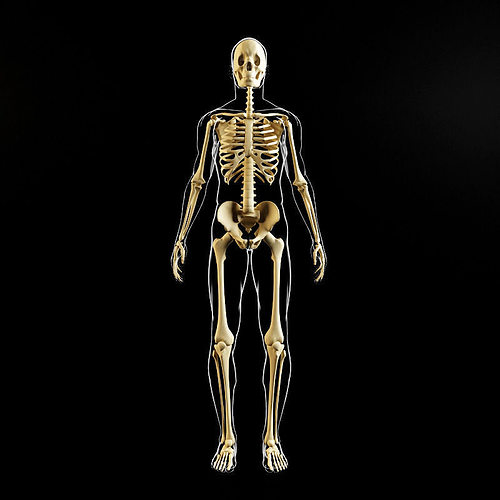 skeleton and human body 3d model max obj fbx mtl 1