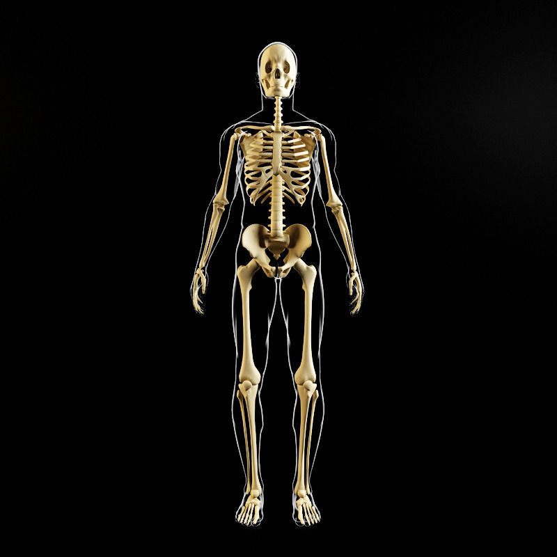 3D model Skeleton and human body | CGTrader