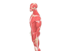 Human Male Rigged Muscular and Skeletal System  3D Model