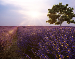 3D model Lavender field