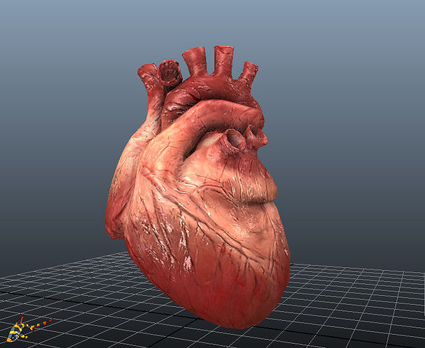 animated human hearts 3d model rigged animated fbx ma mb 1