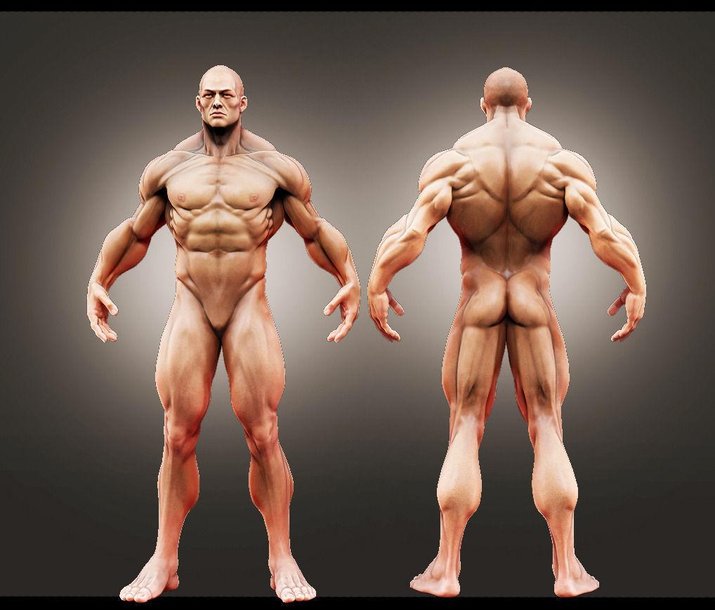 3D Male Anatomy Study | CGTrader