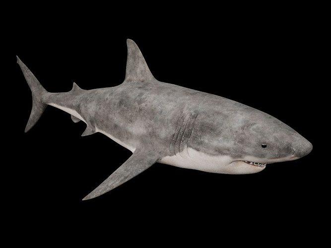 great white shark 3d model max obj mtl 3ds fbx 1