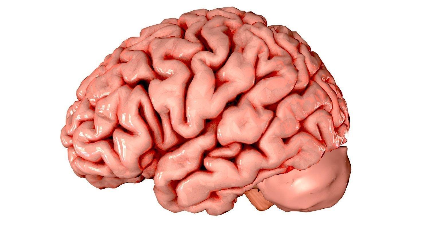 Brain anatomy models 2357464 - follow4more.info