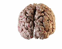 3d print model human brain