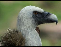 Realistic Vulture 3D