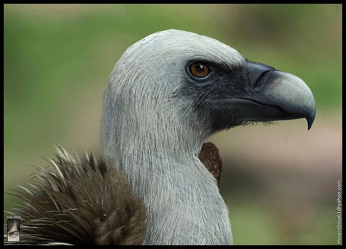 realistic vulture 3d model max obj 3ds ztl tga 1