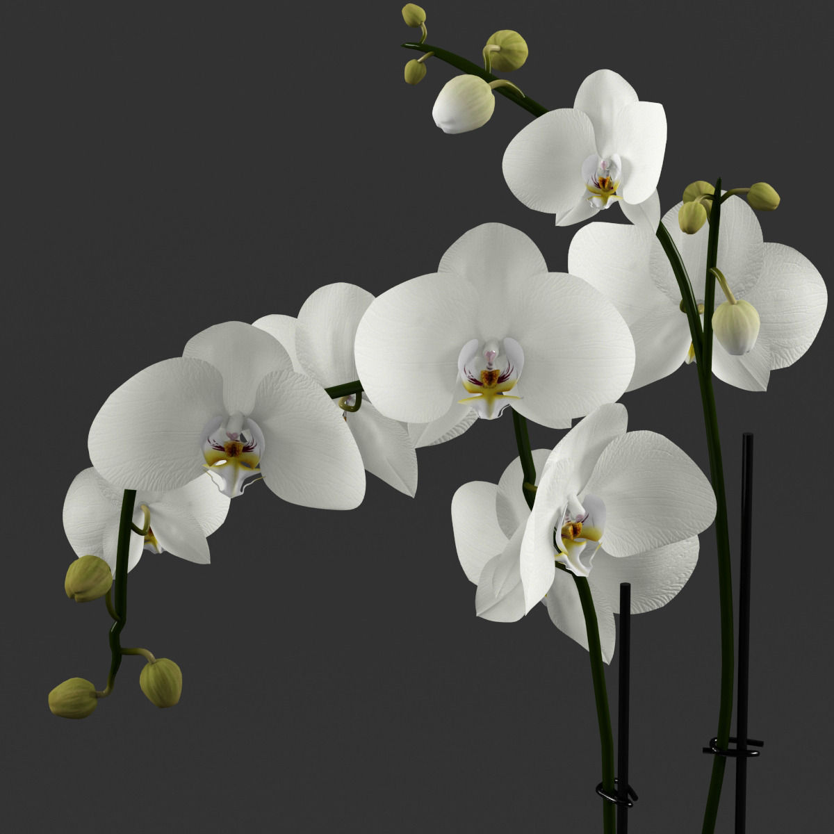 3d Model White Orchid In Glass Pot With Stones Cgtrader