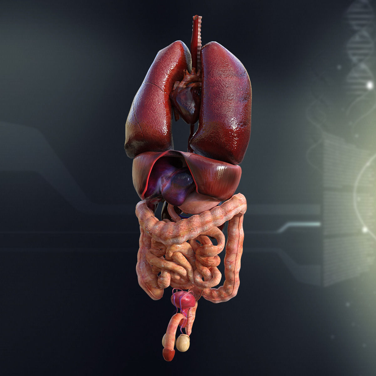 large Human Male Internal Organs 3D model | CGTrader