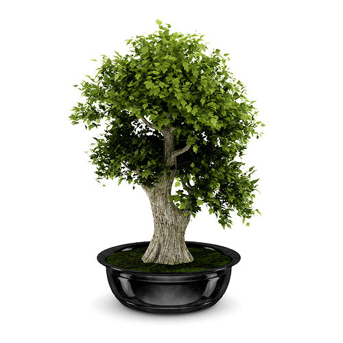 bonsai tree 3d model max obj fbx c4d 1