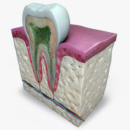 teeth diagram 3d model obj mtl 3ds fbx c4d pdf 1