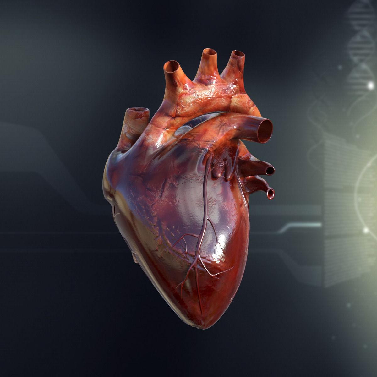 3d human heart anatomy cgtrader human heart anatomy 3d model max obj 3ds fbx c4d lwo lw lws 1 ccuart Choice Image