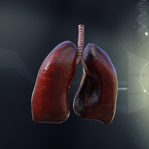 Human Lungs Anatomy 3D model | CGTrader