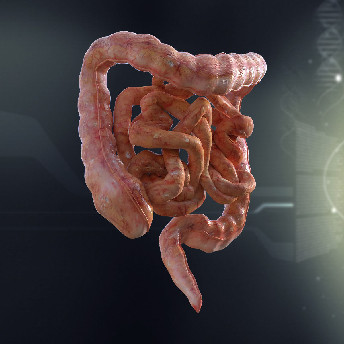 3D Human Small and Large Intestines Anatomy | CGTrader