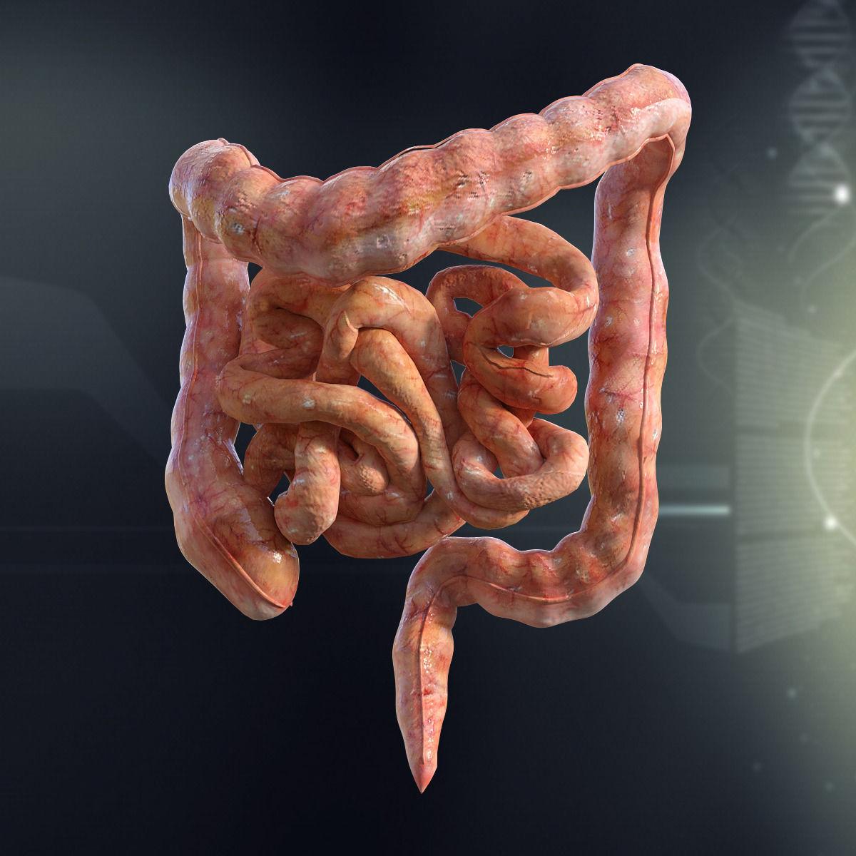 3d Human Small And Large Intestines Anatomy Cgtrader