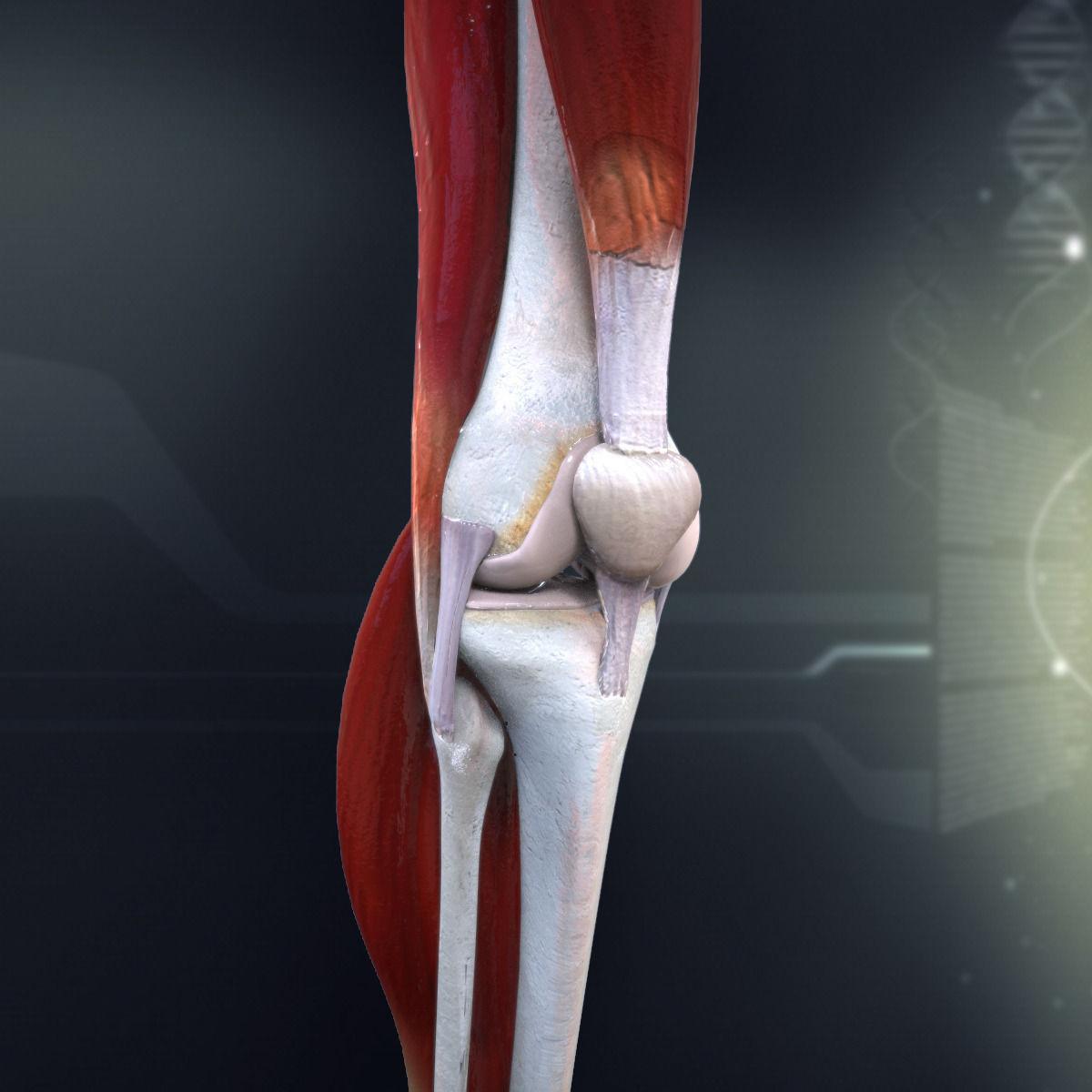 3D model Human Knee Joint Anatomy | CGTrader