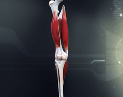 human knee joint anatomy 3d