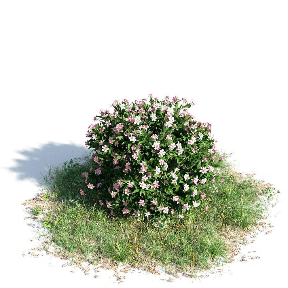 Nerium oleander dwarf 43 am154