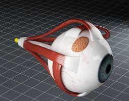 anatomy eye 3d model max obj 3ds fbx