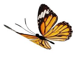 Danaida butterfly 3D