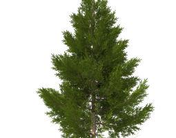 pine tree 11 m 3D