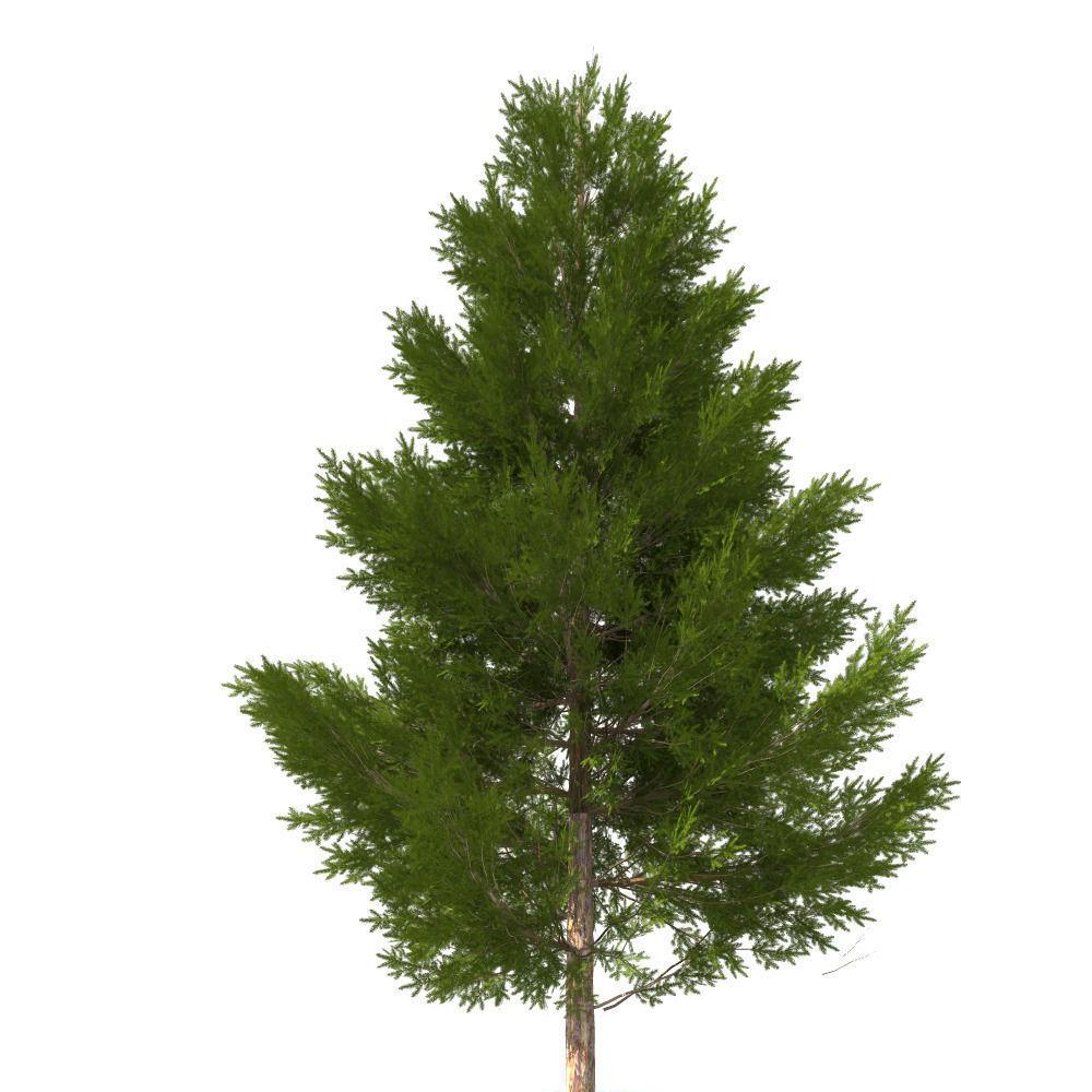 pine tree 11 m 3d cgtrader