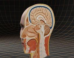 3D Anatomy head cutaway