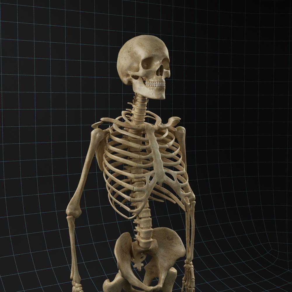 Anatomy skeleton 02