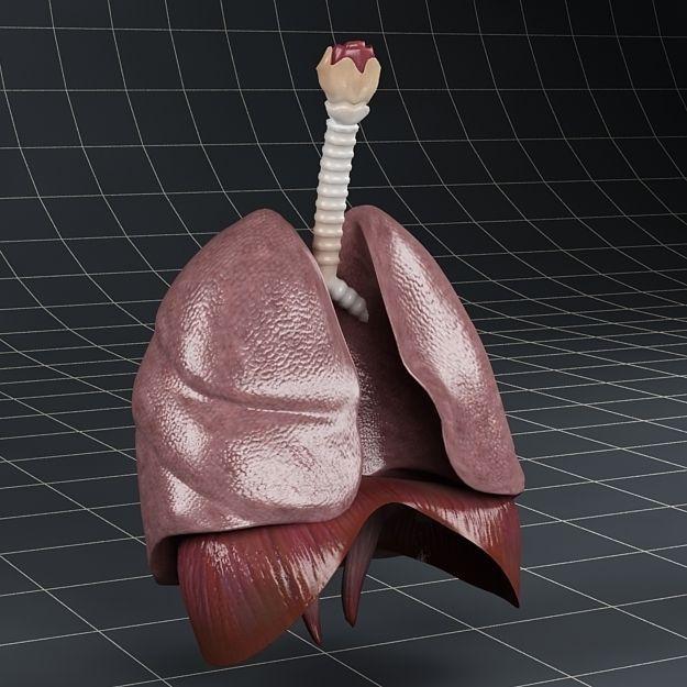 Anatomy Lungs Diaphragm