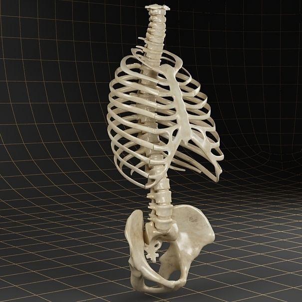 Anatomy skeleton pelvis spinal column ribs
