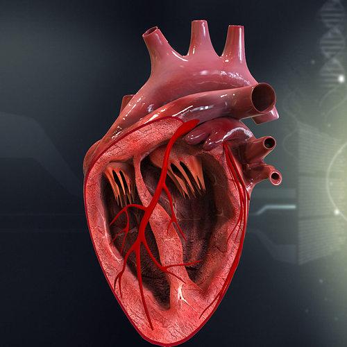 Human Heart Cutaway Anatomy 3D model section   CGTrader