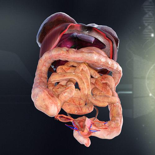 Human Female Internal Organs Anatomy 3D   CGTrader