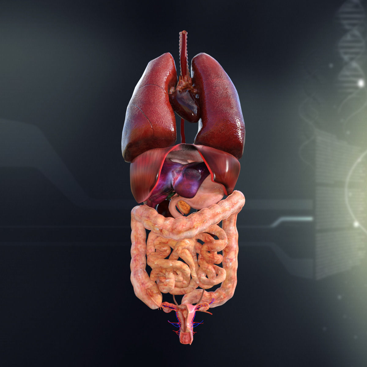 Human Female Internal Organs Anatomy 3D | CGTrader