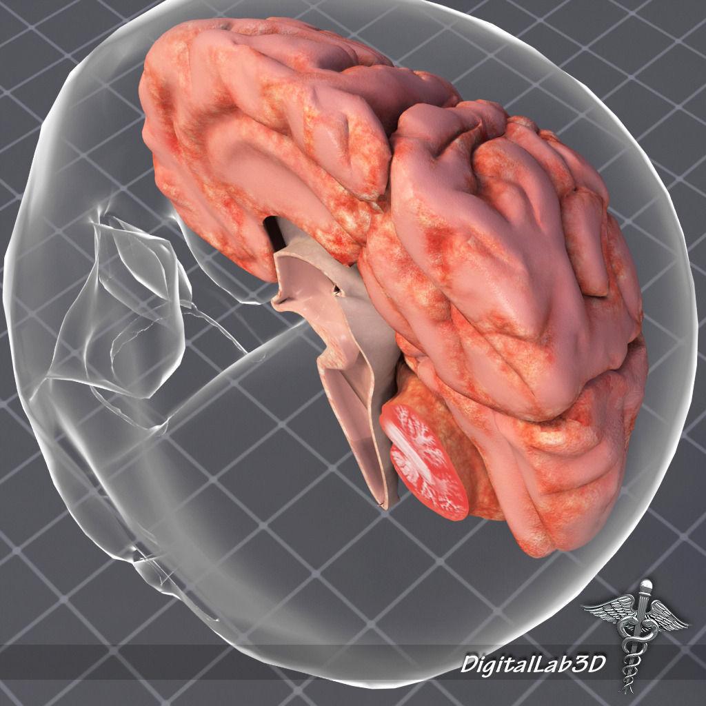 3D model Human Brain Anatomy | CGTrader