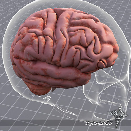 3D Model Human Brain Anatomy