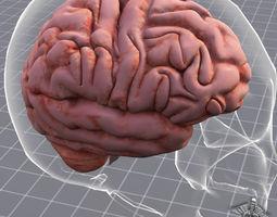 human brain anatomy 3d model max obj 3ds fbx c4d lwo lw lws