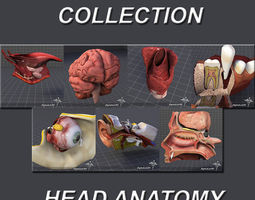 head anatomy collection 3d model max obj 3ds c4d lwo lw lws ma mb