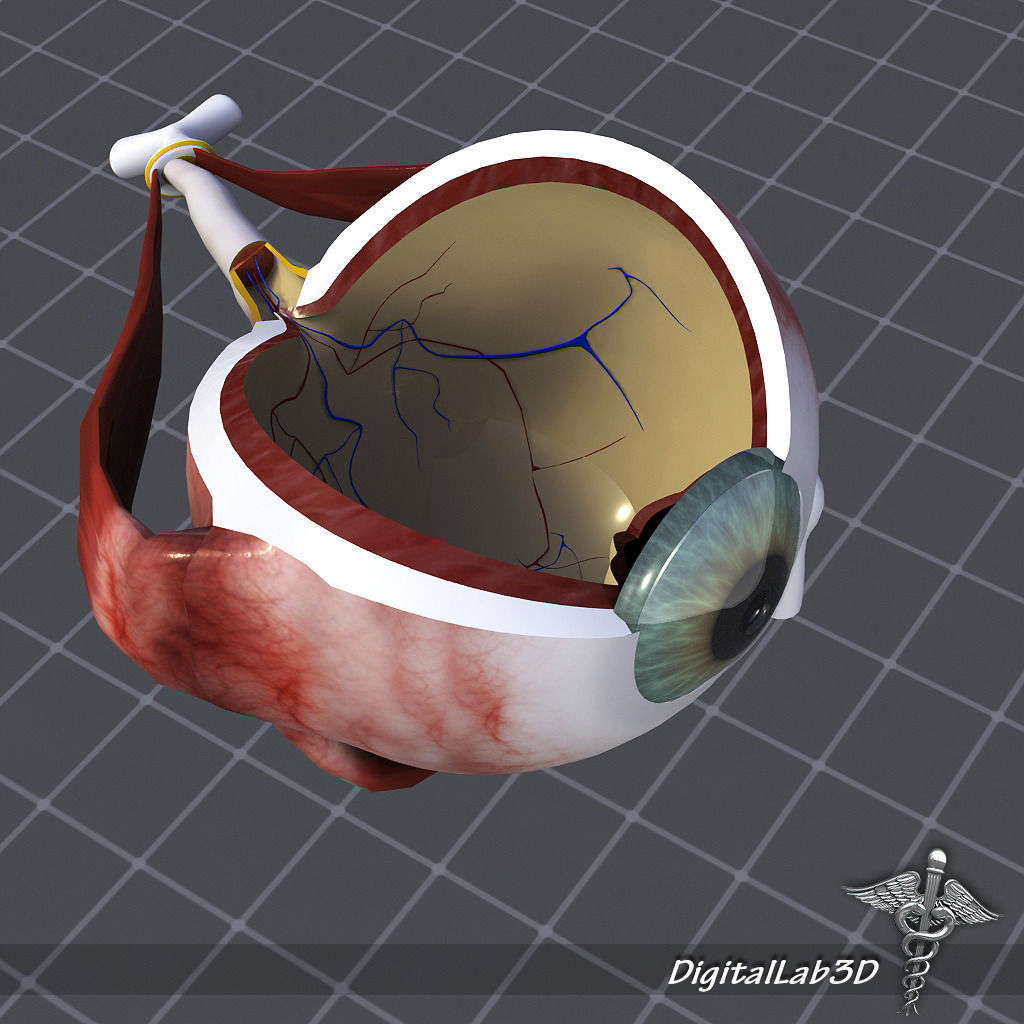 visual 3D model Human Eye Anatomy | CGTrader