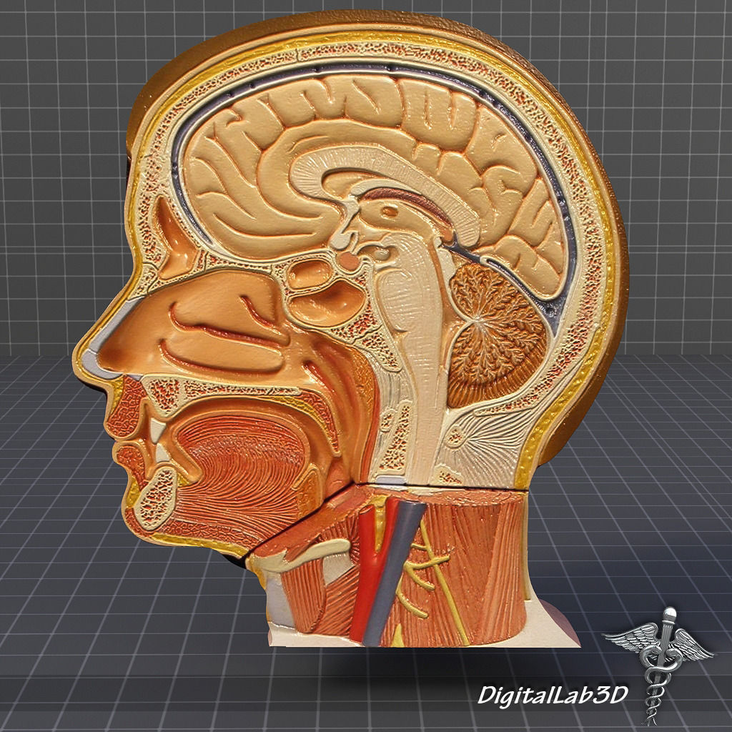 Human Head Anatomy 3D model | CGTrader